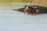 Hippopotamus (Hippopotamus amphibius) partly submerged in water