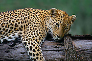This leopard, like all big cats, have a way of defining watchful rest. Sabie Sands Game Reserve, Mpumalanga, South Africa