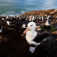 Black-browed albatross colony, Saunders Island, Falkland Islands, 2017