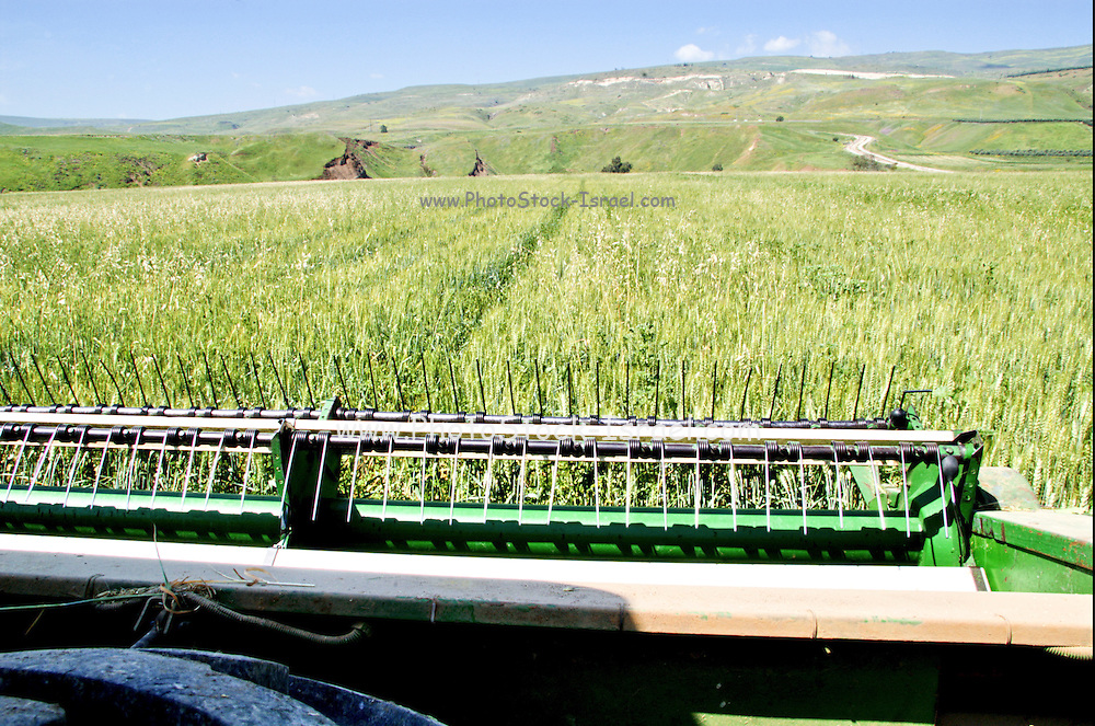 Israel, Jordan Valley, Island of peace, Wheat harvest for silage. The Isle of Peace is under Jordanian rule but is on loan to the Israeli Kibbutz Ashdot Yaacov under the peace treaty between the two countries