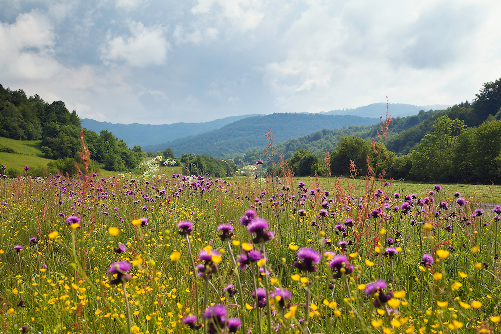 Flowering meadow with thistles, Cirsium rivularis, and buttercup, Ranunculus acris, Poloniny National park, Western Carpathians, Eastern Slovakia, Europe