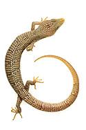 Texas Alligator Lizard (Gerrhonotus infernalis)<br /> captive individual<br /> 22-Oct-2017<br /> J.C. Abbott &amp; K.K. Abbott