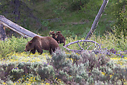 Grizzly Bear #399 and two of her three Cubs playing in Grand Teton National Park Wyoming