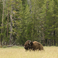 A Bison settles in for a nap in Yellowstone National Park.