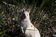 These albino wallabies were quite a find, living in the woods near the the campsite at Adventure Bay, on Bruny Island. Tame enough to come into the trailer park, and calm enough to let me get close in the woods. ....Albino Bennet's Wallaby, Adventure Bay, Bruni Island, Tasmania. Macropus rufogriseus rufogriseus, or Bennet's Wallaby, is the Tasmanian subspecies of the red-necked wallaby...