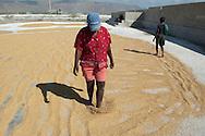 Drying grain. Artibonite Valley, Haiti, January 23 2008.