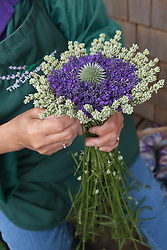 North America, United States, Washington, Sequim, hands making bouquet of dried lavender at Lavender Festival, held annually each July