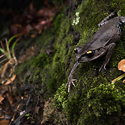 Smith's Litter Frog (Leptobrachium smithi) in Kaeng Krachan national park, Thailand