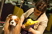 A cavalier King Charles Spaniel gets a hairdo prior to the Westminster Kennel Club dog show.