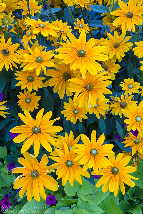 Black-eyed Susan flowers in the gardens at Queen Elizabeth Park in Vancouver, British Columbia, Canada