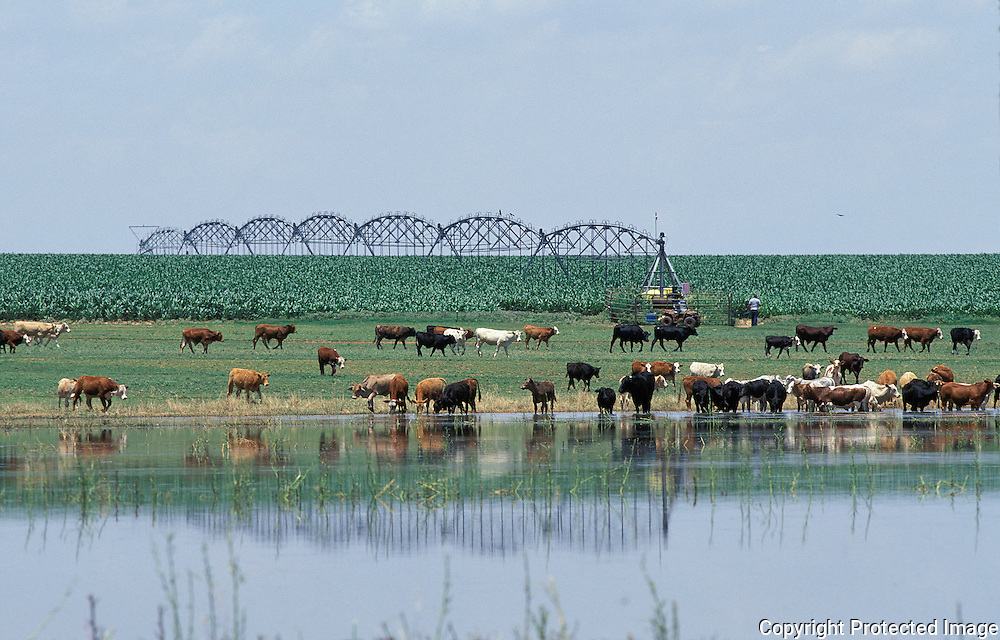 Cows in playa lake; Texas