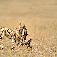 Cheetah (Acinonyx jubatus) cub besides mom with Thompson's gazelle fawn kill, Masai Mara, Kenya