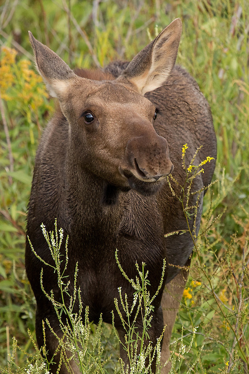 Moose calves are born in spring and stay with their mother for the first year of life. This three month old calf was half of a pair of twins observed in Grand Teton National Park.