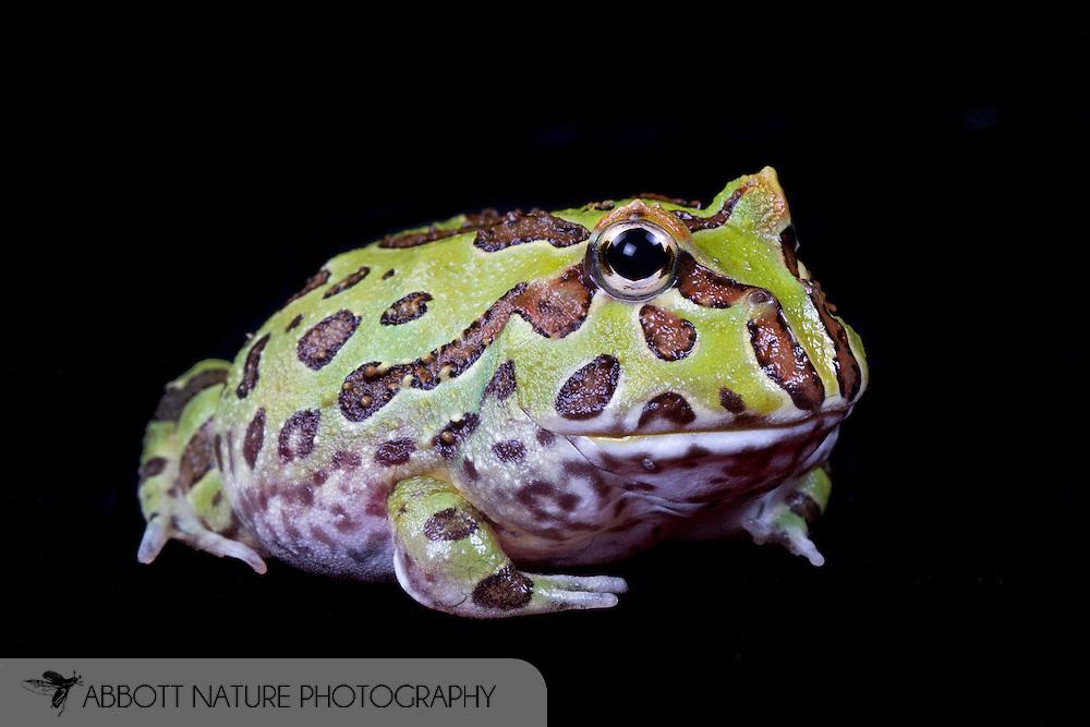 Argentine horned frog, South American horned frog, Pacman frog (Ceratophrys ornata)<br /> TEXAS: Williamson Co.<br /> Captive bred juvenile<br /> J.C. Abbott &amp; K.K. Abbott