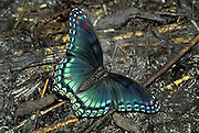 Red-spotted Purple butterfly; Liminites arthemis; drinking; minerals; decaying; tadpoles; drying; vernal pool; DE, Blackbird State Forest;