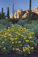 Brittlebush (Encelia farinosa) Organ Pipe Cactus National Monument Arizona