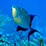 Queen Triggerfish inhabit coral reefs, adjacent areas of rubble and seagrass in Tropical West Atlantic; picture taken St. Vincent.