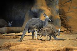 September 1, 2017 - SâO Paulo, São Paulo, Brazil - SAO PAULO SP, SP 01/09/2017 MOTHER KANGAROO AND HER BABY:Kangaroo mother is seen nursing her baby in the aquarium of Sao Paulo this morning (1) in São Paulo. (Credit Image: © Cris Faga via ZUMA Wire)