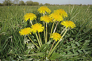 COMMON DANDELION Taraxacum officinale agg. (Asteraceae) Height to 35cm. Extremely variable perennial. Experts recognise several sub-groups (sections), containing numerous so-called micro-species; however, for simplicity's sake, here they are lumped together as a single species. Grows in a wide variety of grassy places. FLOWERS are borne in heads, 3-6cm across, with yellow florets; heads are solitary and borne on hollow stems that yield a milky sap if broken (Mar-Oct). FRUITS have a hairy pappus, arranged as a white 'clock'. LEAVES are spoon-shaped and sharply lobed; arranged in a basal rosette. STATUS-Widespread and common throughout.