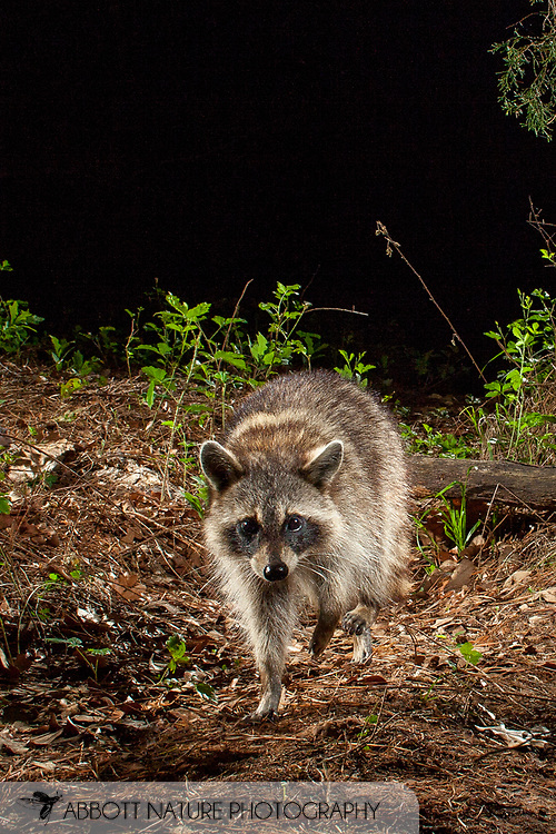 Northern Raccoon (Procyon lotor)<br /> TEXAS: Bastrop Co.<br /> Stengl &quot;Lost Pines&quot; Biological Station; Smithville<br /> 27.April.2009<br /> J.C. Abbott<br /> photographed with trap camera