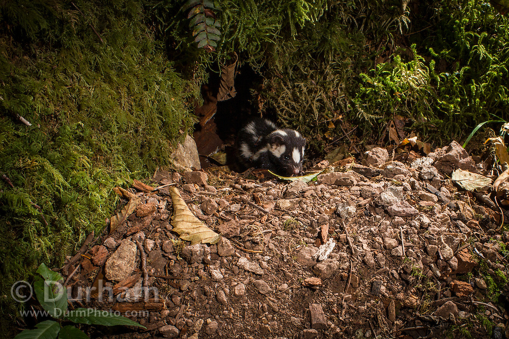 Western Spotted Skunk (Spilogale gracilis) emerging from a burrow at night in costal forest, Oregon.