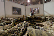 Western diamondback rattlesnakes move in a pit during the 54th annual Rattlesnake Roundup at Nolan County Coliseum in Sweetwater, Texas on Sunday, March 11, 2012. The Sweetwater Rattlesnake Roundup is the world's largest and takes place every second weekend in March.