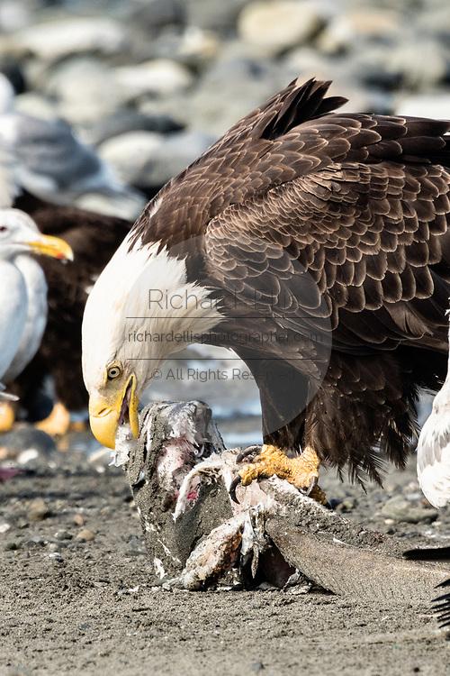 An adult bald eagle eats fish scraps on the beach at Anchor Point, Alaska.