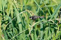 Male White-collared Seedeater (Sporophila torqueola) feeding on seeds in grasses at edge of Lake Chapala Jocotopec, Jalisco, Mexico