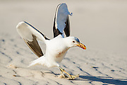 Kelp Gull landing on sand dunes with open wings, De Hoop Nature Reserve and marine protected area, Western Cape, South Africa