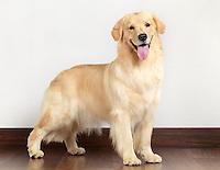 Golden Retriever fifteen month old dog indoor portrait