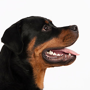 Profile head shot shot of slim Rottweiler with mouth open on white