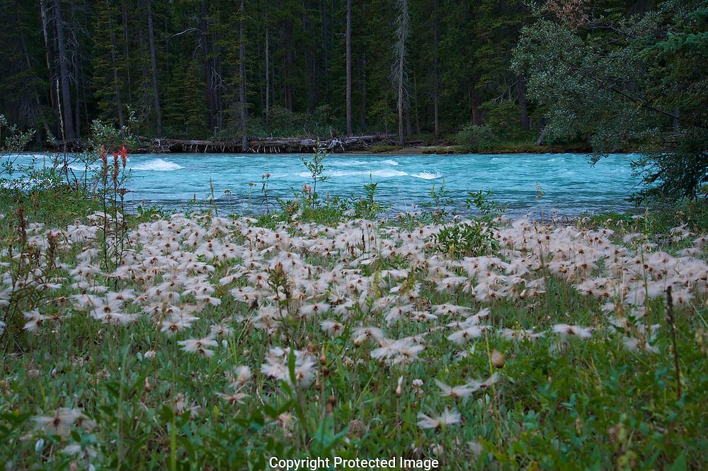 Wild Flowers on the Bow River., Alberta, canada, Isobel Springett