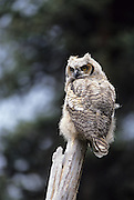 Owl chick, owl chicks, Great Horned Owl, Owl, Denali National Park, Alaska, Young owl, Juvenile Owl, Juvenile Great horned owl, Young Great horned owl