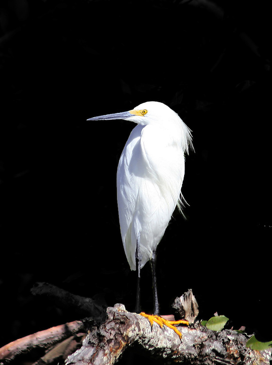Snowy Egret on Mangrove Branch