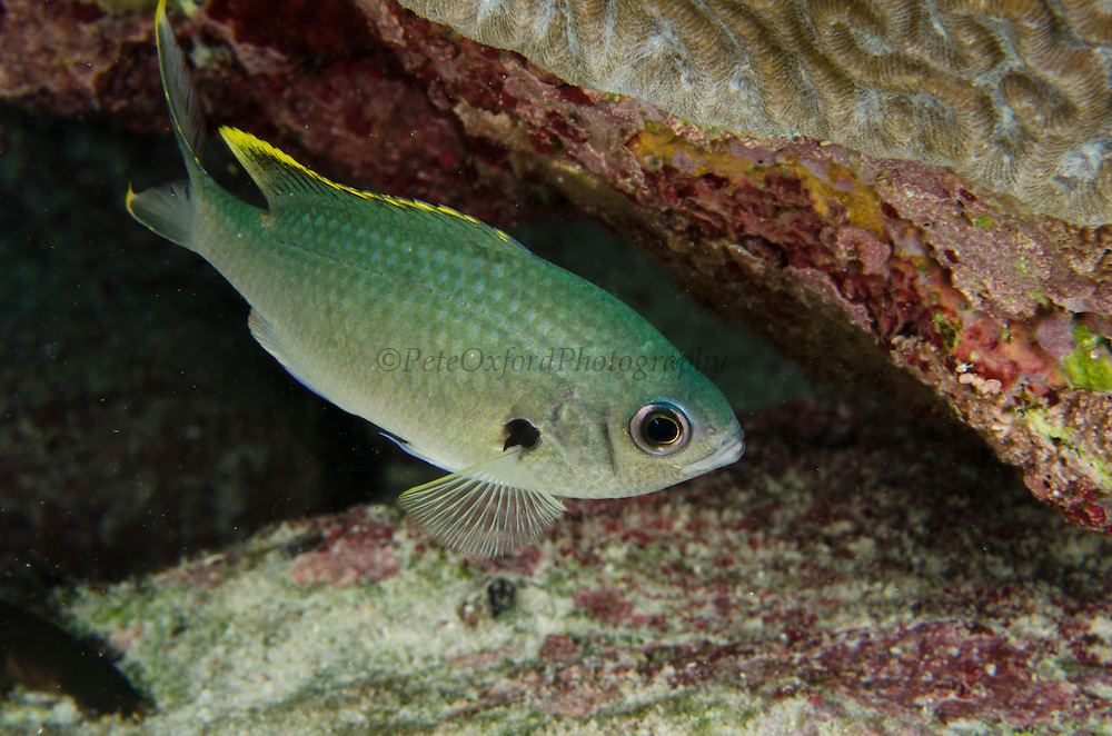 Brown Chromis (Chromis multilineata)<br /> BONAIRE, Netherlands Antilles, Caribbean<br /> HABITAT & DISTRIBUTION: Outer reef banks.<br /> Florida, Bahamas, Caribbean, Gulf of Mexico south to Brazil.