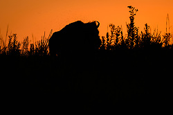 Hundreds of unidentified flies hover above a bison (Bison bison) during sunset in the Regal Prairie Natural Area located in Prairie State Park. <br /> <br /> Among the flies that are a pest to bison are horn flies (Haematobia irritans). As many as 500 to 1,500 horn flies will feed on the blood of a bison 20 to 40 times a day.<br /> <br /> Prairie State Park, located near Liberal, Mo. is Missouri's largest remaining tallgrass prairie. The park's nearly 4,000 acres is home to bison and elk. Panoramic hillsides of wildflowers such as prairie blazing star, sunflowers, and Indian paintbrush provide a canvas of color. In the fall, prairie grass such as big bluestem and Indian grass may tower as high as 8 feet tall. <br /> <br /> Tallgrass prairie once covered more than 13 million acres of Missouri's landscape. Today, less than one percent remains. The prairie at Prairie State Park remains because the rocky land was too difficult to plow, which protected it from being farmed. Hiking, animal viewing, camping, birdwatching, and photography are some of the activities that the park affords. <br /> <br /> The Regal Prairie Natural Area is a 240-acre state natural area within the park that is especially noted for its wildflower display. The Nature Conservancy and the Missouri Prairie Foundation provided funding for the purchase of much of the park's acreage. The area was dedicated as a state park in 1982.