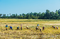 Angkor, Cambodia - January 2, 2014: peasants harvesting rice at Angkor, Cambodia on january 2nd, 2014