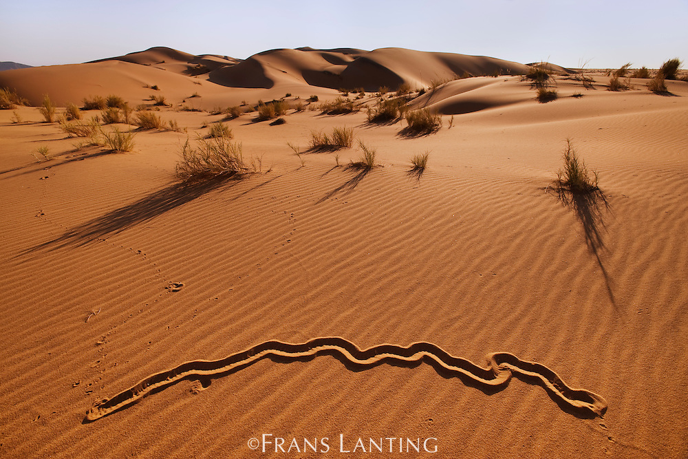 Golden mole tracks, Eremitalpa granti, Namib-Naukluft National Park, Namibia