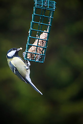 Bird feeding in the garden.