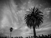 Palm Trees, Seacliff State Beach, Aptos, Ca
