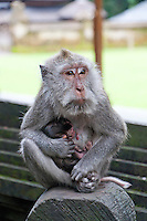 Monkey mother and newborn baby at a temple near Tabanan, Bali, Indonesia