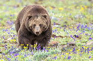 A large male grizzly makes his way through a meadow of wildflowers including larkspur, desert parsley and penstemon.
