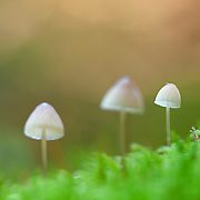 Three mushrooms , Milking Bonnet, Mycena galopus, in moss against oragne and green background