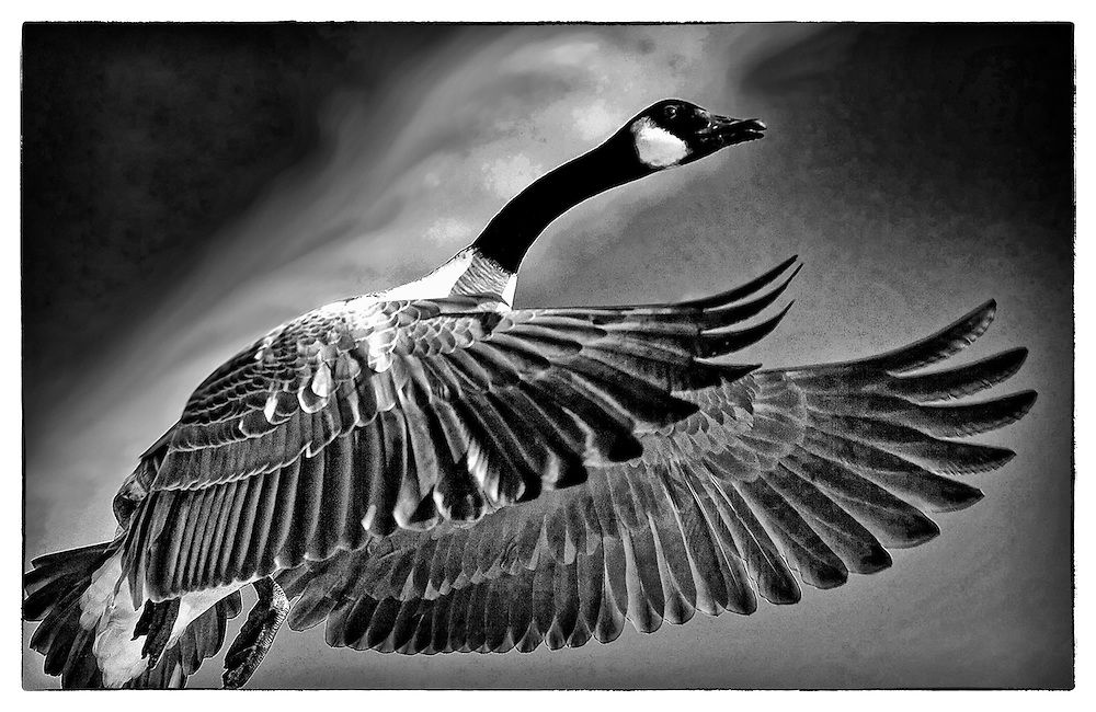 Canada goose takes flight over the Delaware River in Philadelphia;