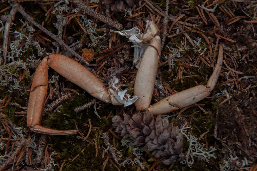 Crab legs, Nautilus Island, Castine, Maine, US