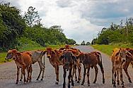 Skinny calves on the road near Macurije area, Pinar del Rio, Cuba.