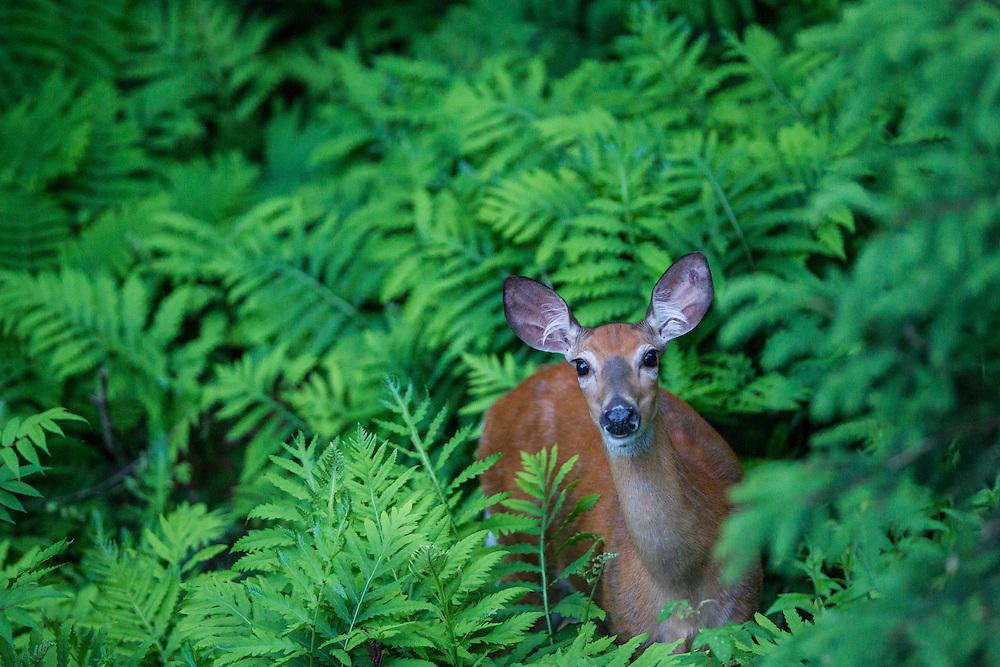 White-tailed deer, Mont-Tremblant, Quebec. June 13, 2013. © Allen McEachern.