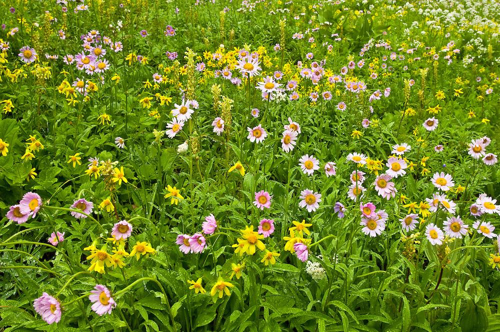 Wildflowers at Paradise area, Mount Rainier National Park, Washington.