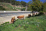 Cattle graze in a field near a busy road