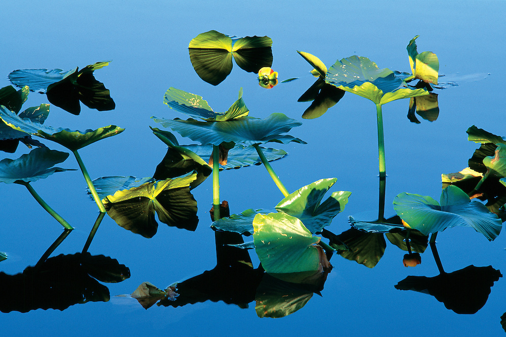 Abstract Design of Summer Lilypads in Placid Pond